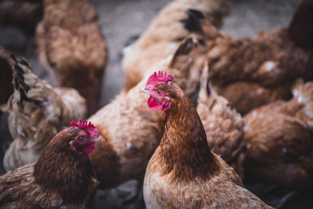 kuryczaki w kurniku